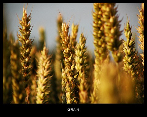 Field-of-grain-by-Frapestaartje.jpg