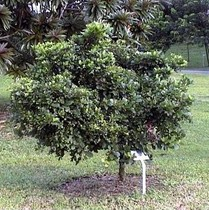 a-miracle-fruit-tree.jpg